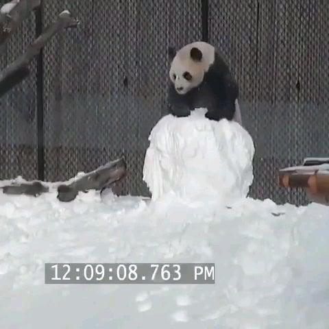 Панды должен быть тупейшей животных