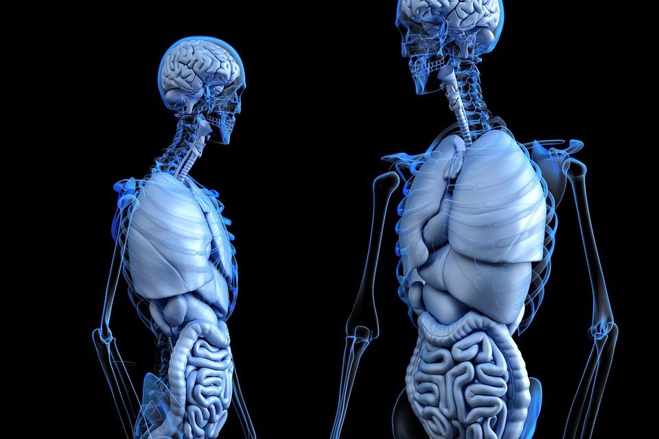 Изображение: https://cdn.pixabay.com/photo/2017/04/25/22/22/anatomical-2261006_960_720.jpg